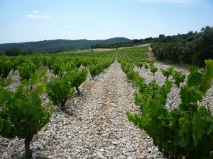 photo-vignoble-du-loup-blanc